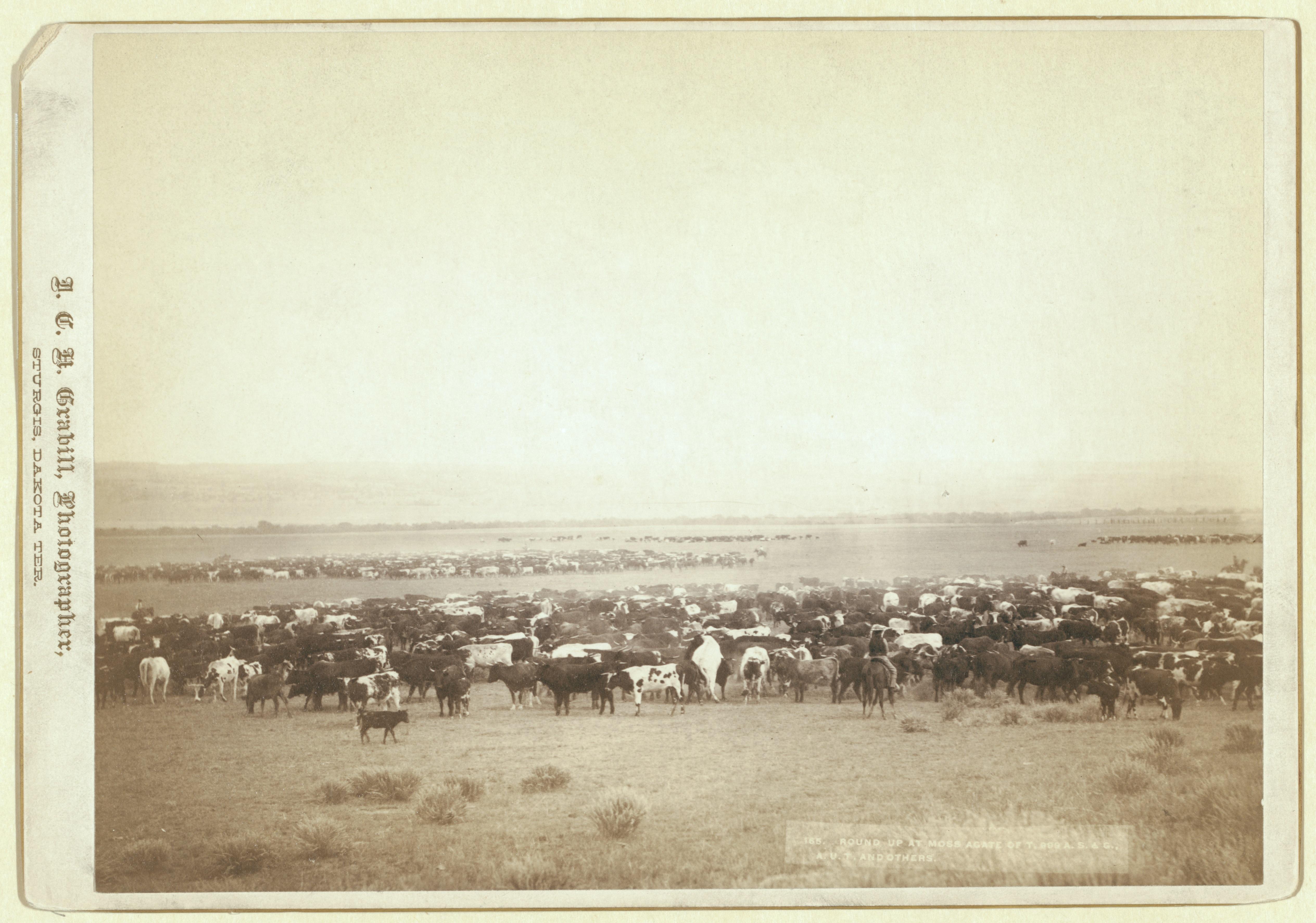 Wypas bydła